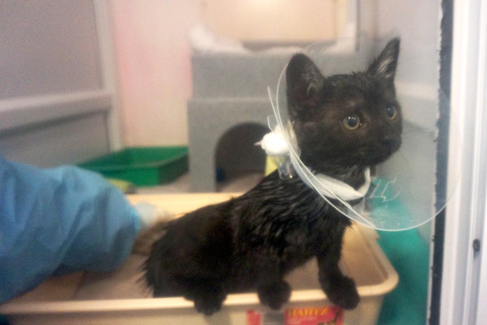 Midnight – the abandoned kitten with the worst ringworm we've ever seen