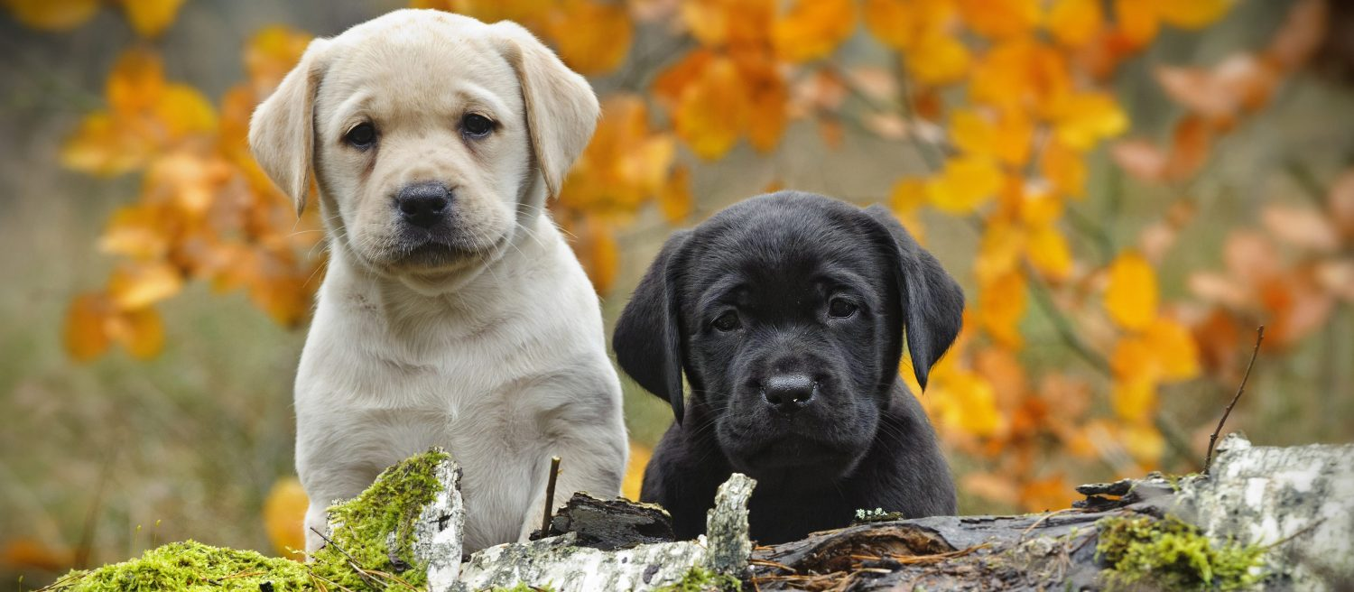 New research into common cancer will benefit thousands of Labrador and Golden Retrievers